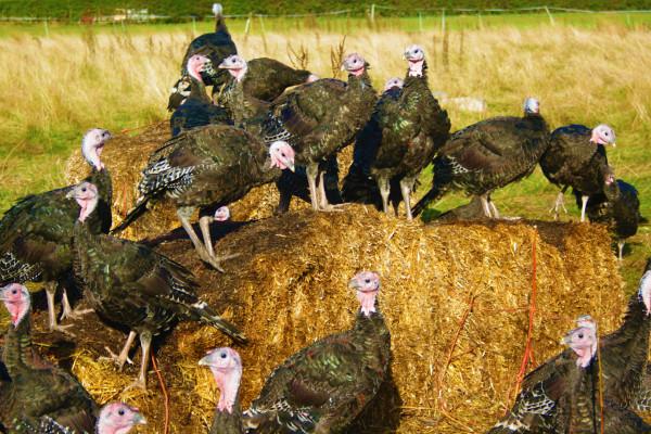 TurkeysOnBale2